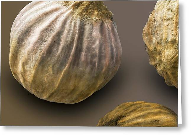 Scanning Electron Microscope Greeting Cards - Coriander Fruit, Sem Greeting Card by Power And Syred