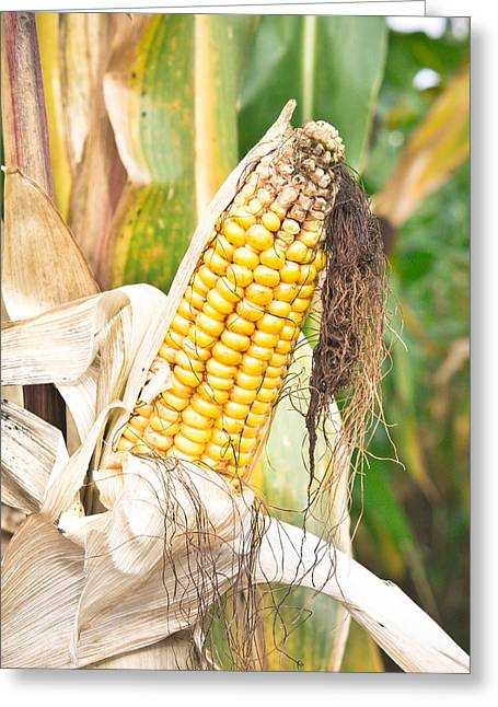 Summer On The Farm Greeting Cards - Corn Greeting Card by Tom Gowanlock
