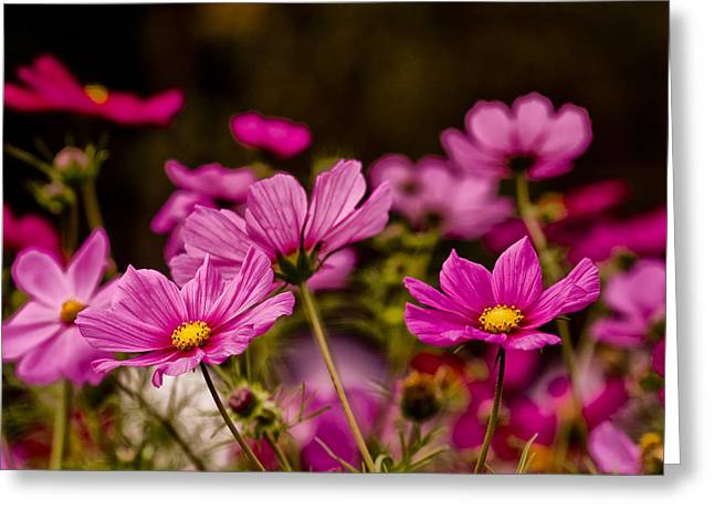 Asters Greeting Cards - Cosmos Bipinnatus Greeting Card by Jay Lethbridge