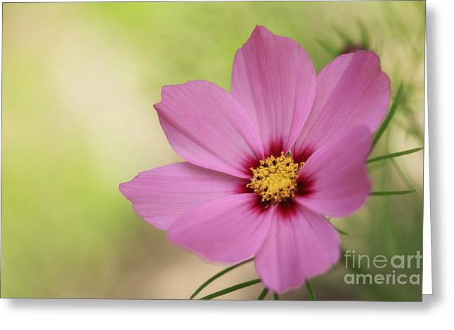 Cosmos... Greeting Card by LHJB Photography