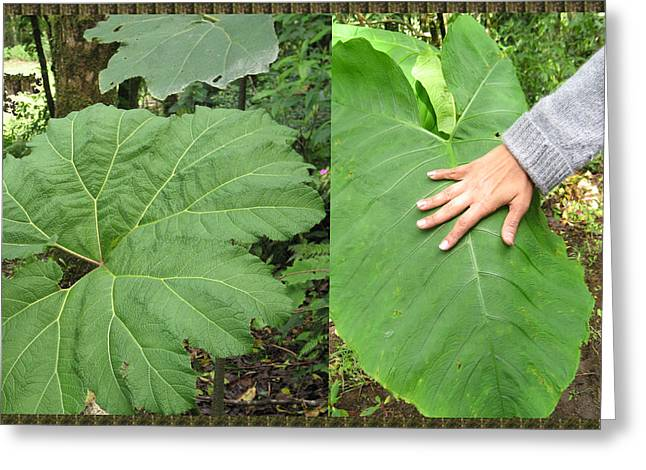 Costa Mixed Media Greeting Cards - Costa Rica Wild Show  Huge Leaf Plants compare with size of hand of an adult placed on the leaf  mag Greeting Card by Navin Joshi