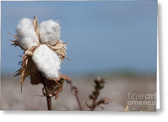 Cotton Balls Greeting Cards - Cotton Bolls  Greeting Card by Hagai Nativ