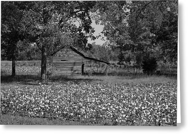 Cotton In Rural Alabama Greeting Card by Mountain Dreams