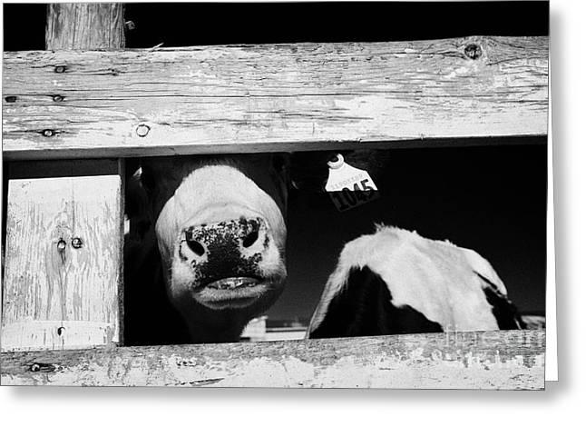 Ear Tags Greeting Cards - cow looking through wooden fence in beef cattle herd saskatoon Saskatchewan Canada Greeting Card by Joe Fox