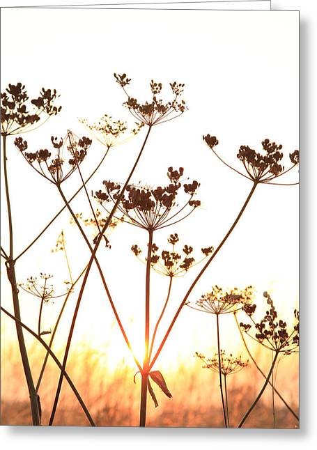 Paul Lilley Greeting Cards - Cow Parsley at Sunset. Greeting Card by Paul Lilley