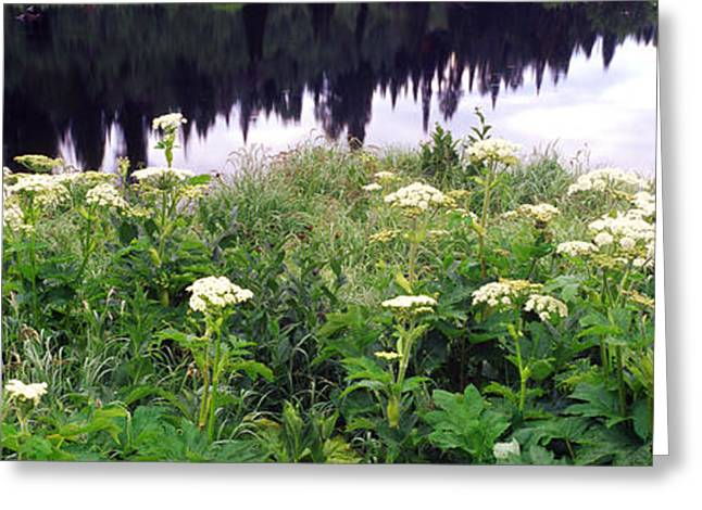 Cow Images Greeting Cards - Cow Parsnip Heracleum Maximum Flowers Greeting Card by Panoramic Images