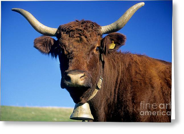 Cattle Farming Greeting Cards - Cow Salers Greeting Card by Bernard Jaubert