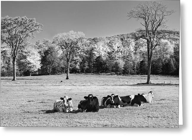 Maine Agriculture Digital Art Greeting Cards - Cows Resting On Grass In Farm Field Autumn Maine Photograph Greeting Card by Keith Webber Jr