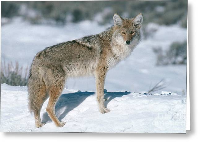 C. Latrans Greeting Cards - Coyote Greeting Card by Art Wolfe