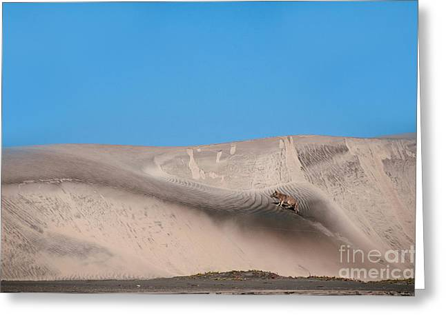 Coyote On Sand Dune Greeting Card by Mark Newman