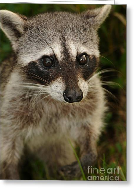Cozumel Greeting Cards - Cozumel Raccoon Procyon Pygmaeus Greeting Card by Scott Camazine