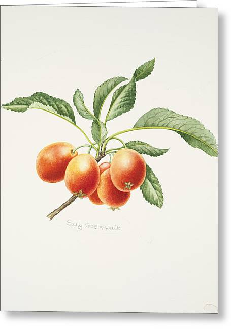Apple Greeting Cards - Crab Apples Greeting Card by Sally Crosthwaite