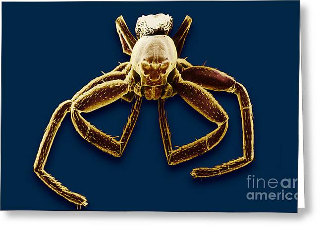 Crab Spider Greeting Card by David M. Phillips