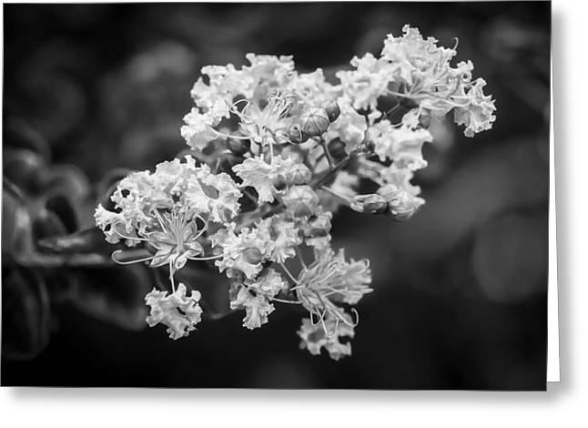Crape Greeting Cards - Crape Myrtles Tree Lagerstroemia Painted BW Greeting Card by Rich Franco