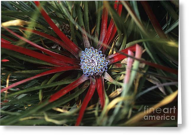 Rosette Greeting Cards - Crimson Bromeliad Fasicularia Bicolor Greeting Card by Adrian Thomas