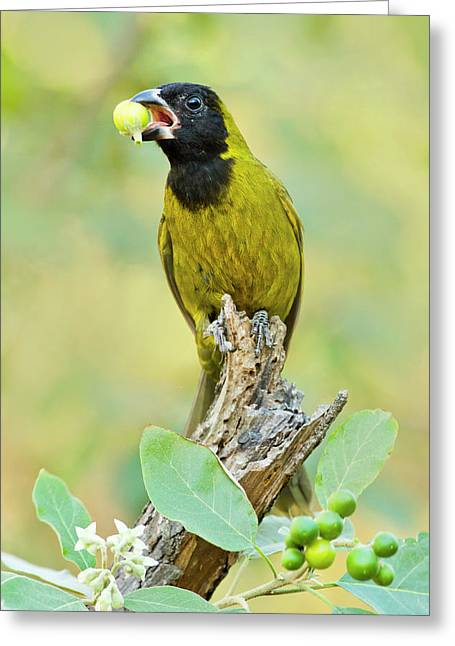 Crimson-collared Grosbeak Greeting Card by Larry Ditto