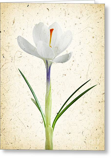 Easter Flowers Greeting Cards - Crocus flower Greeting Card by Elena Elisseeva