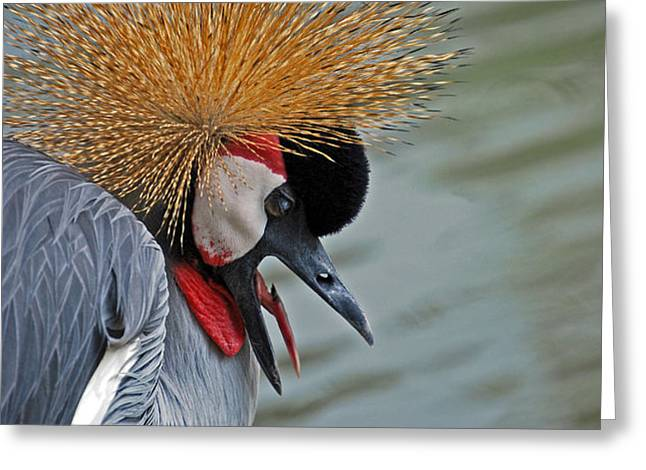 CROWNED CRANE Greeting Card by Skip Willits