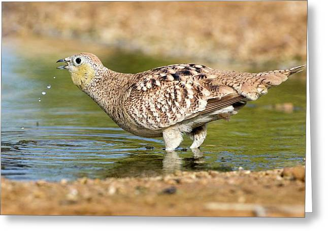 Crowned Sandgrouse Pterocles Coronatus Greeting Card by Photostock-israel