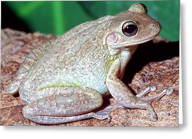 Predaceous Greeting Cards - Cuban Tree Frog Osteopilus Greeting Card by Millard H. Sharp