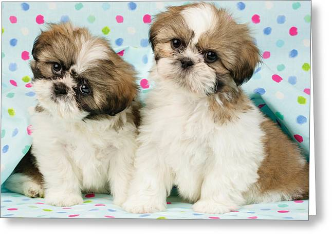 Puppies Photographs Greeting Cards - Curious Twins Greeting Card by Greg Cuddiford