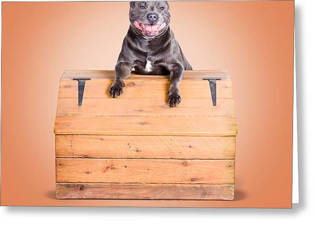 Staffie Greeting Cards - Cute purebred blue staffy dog posing on wooden box Greeting Card by Ryan Jorgensen