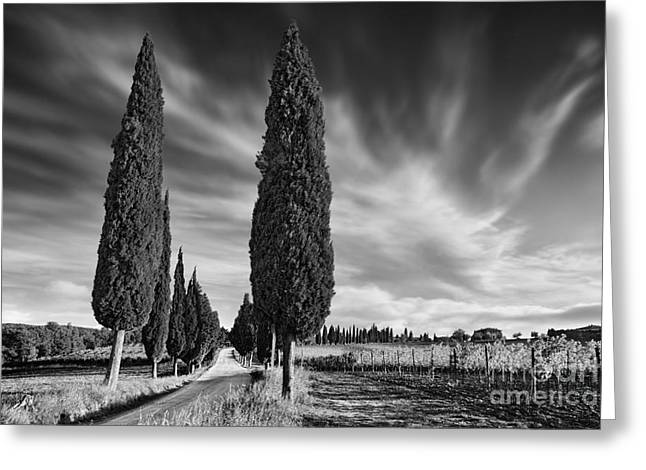 Evening Lights Greeting Cards - Cypress Trees- Tuscany Greeting Card by Rod McLean
