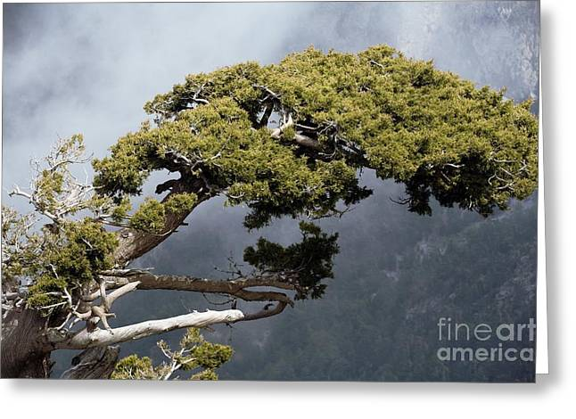 Overhang Greeting Cards - Cypresses Cupressus Sempervirens Greeting Card by Bob Gibbons