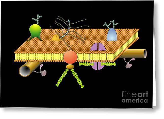 Microfilaments Greeting Cards - Cytoskeleton And Membrane, Artwork Greeting Card by Francis Leroy, Biocosmos