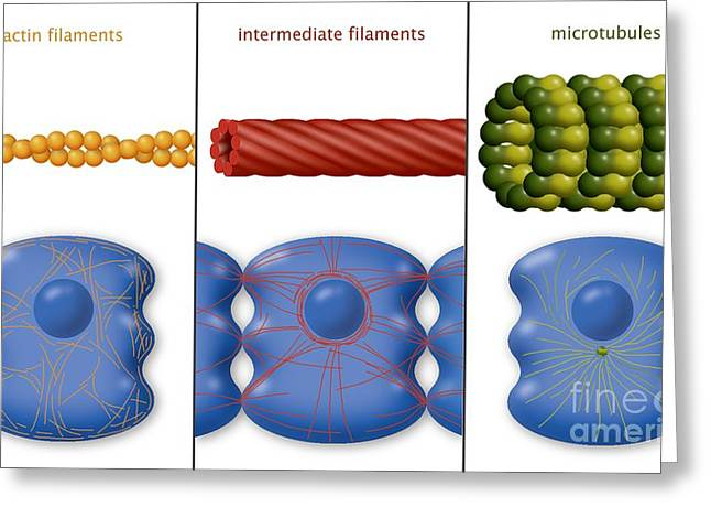 Component Greeting Cards - Cytoskeleton Components, Diagram Greeting Card by Art for Science