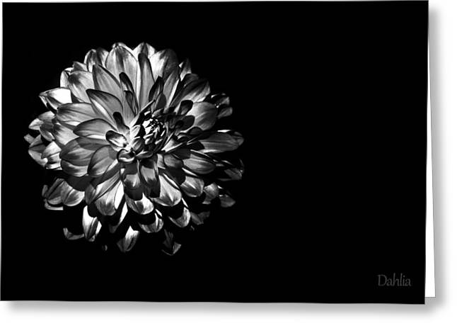 Dahlias Greeting Cards - Dahlia on Black Greeting Card by Mark Rogan