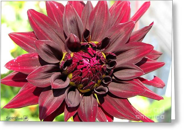 Red Wine Prints Photographs Greeting Cards - Dahlia named Black Wizard Greeting Card by J McCombie