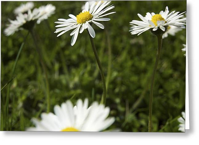 Daisy Greeting Cards - Daisies Greeting Card by Bernard Jaubert