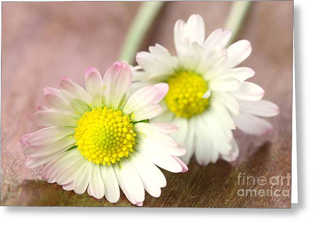 Bellis Greeting Cards - Daisies Greeting Card by Jana Behr