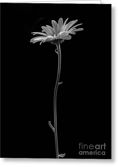 Shasta Greeting Cards - Daisy Greeting Card by Diane Diederich