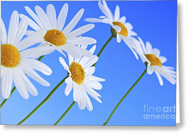 Cheerful Photographs Greeting Cards - Daisy flowers on blue background Greeting Card by Elena Elisseeva