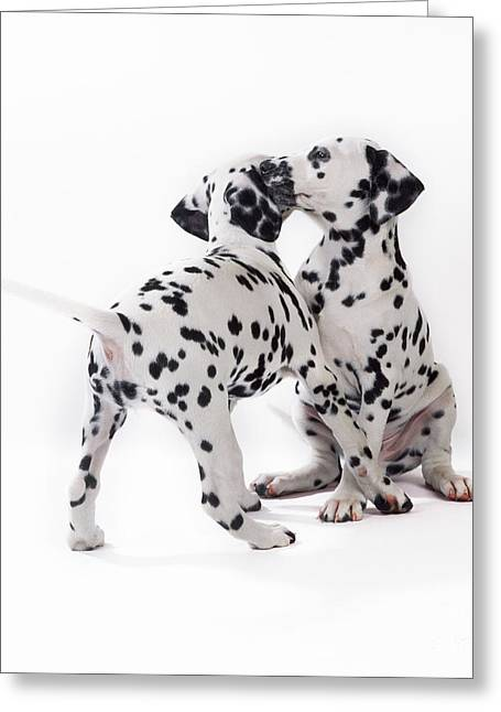 Two Dalmatian Greeting Cards - Dalmatian Puppies Greeting Card by John Daniels