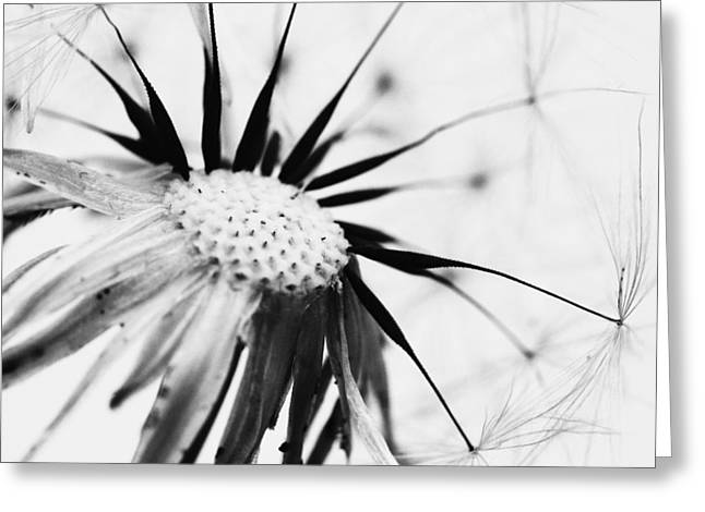 Description Greeting Cards - Dandelion BW Greeting Card by Falko Follert