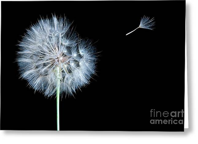 Isolated On Black Background Greeting Cards - Dandelion Dreaming Greeting Card by Cindy Singleton