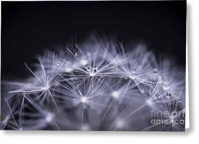 Droplet Greeting Cards - Dandelion seeds macro Greeting Card by Elena Elisseeva