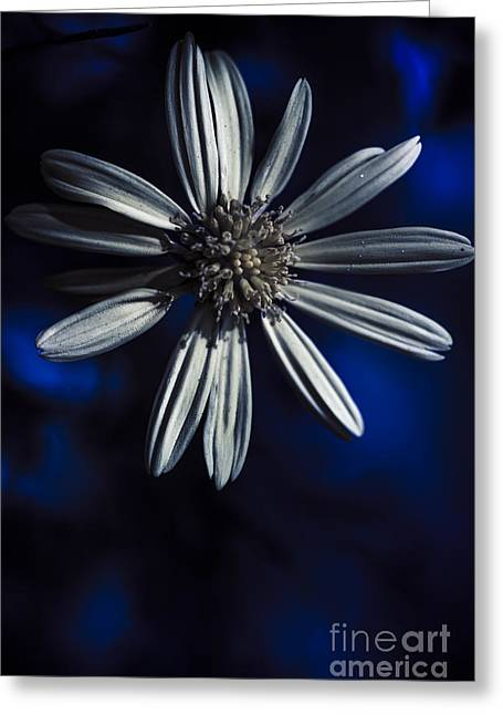 Close Focus Floral Greeting Cards - Dark blue daisy blossoming in a romantic twilight  Greeting Card by Ryan Jorgensen