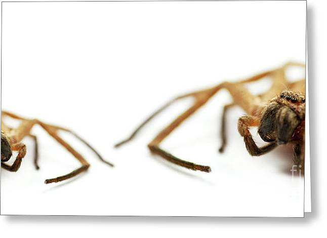 Big Spider Greeting Cards - David And Goliath Daddy Longlegs Greeting Card by Ryan Jorgensen