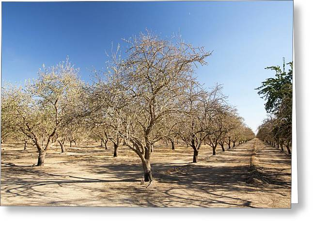Dead And Dying Almond Trees Greeting Card by Ashley Cooper