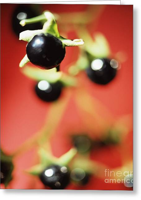 Berry Greeting Cards - Deadly Nightshade Berries Greeting Card by Lawrence Lawry