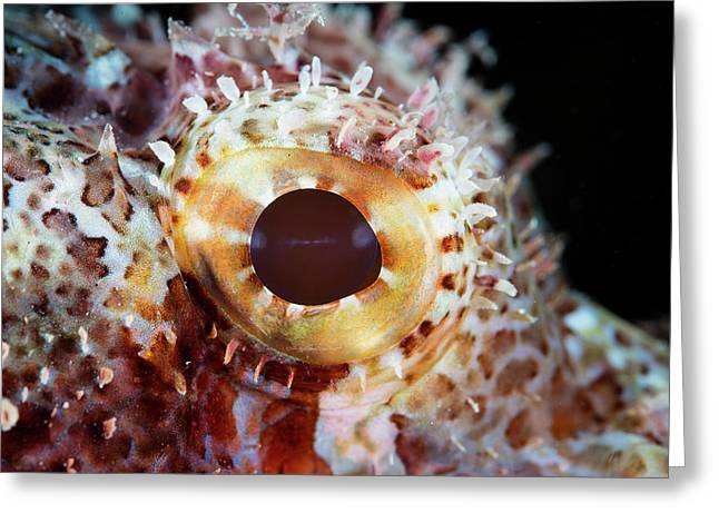 Detail Of The Eye Of A Scorpionfish Greeting Card by Ethan Daniels
