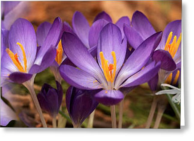 Early Spring Greeting Cards - Details Of Early Spring And Crocus Greeting Card by Panoramic Images