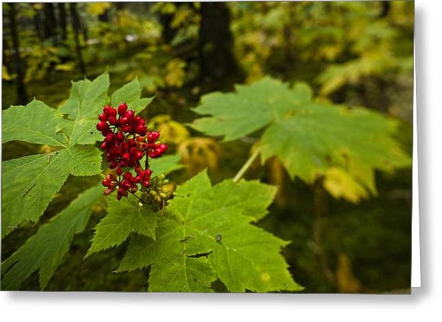 Kodiak Greeting Cards - Devils Club Growing Under The Canopy Of Greeting Card by Kevin Smith