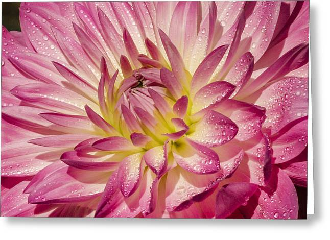 Swann Greeting Cards - Dewey dahlia Greeting Card by Jean Noren