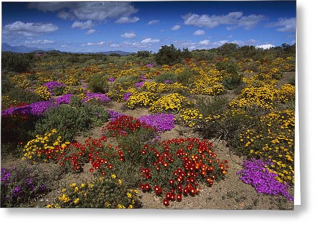 African Heritage Greeting Cards - Dewflowers Little Karoo South Africa Greeting Card by Tui De Roy