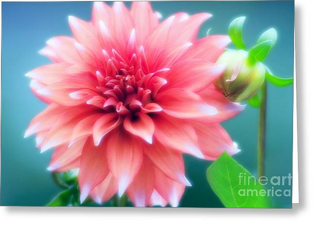 Dinner-plate Dahlia Greeting Cards - Dinner Plate Dahlia Dahlia Sp Greeting Card by Maria Mosolova